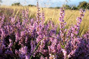 Skovfulness - vilde urter og udstræk